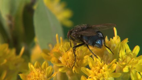 Housefly Adult Lone Eating in Summer Yellow Flower in South Dakota