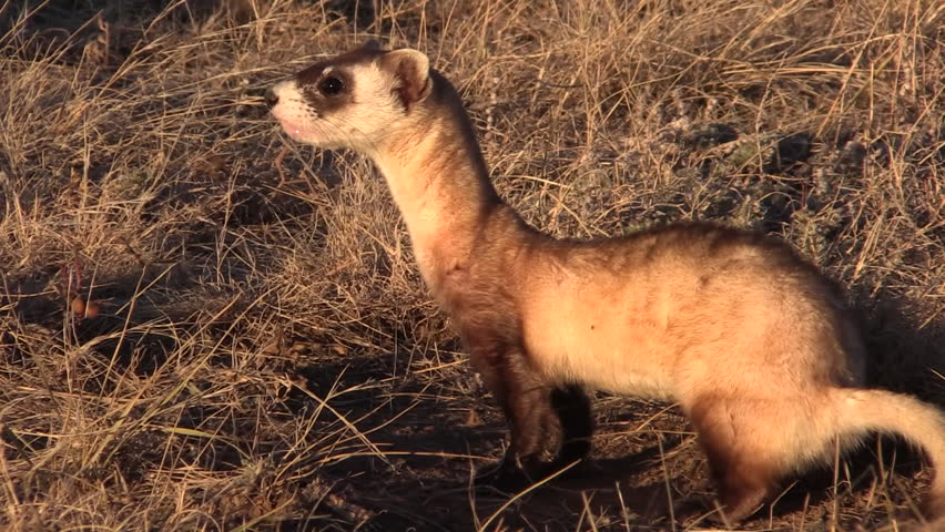 Black-footed Ferret Lone in Fall in South Dakota