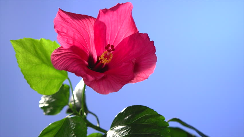 time-lapse. blooming red hibiscus flower on a blue background.  Time lapse. High speed camera shot. Full HD 1080p. Timelapse