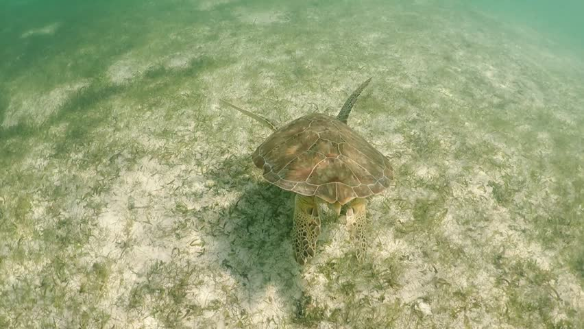 Sea Turtle swimming in tropical water of caribbeans, video slow motion HD