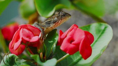 Oriental garden lizard on Euphorbia Beautiful Flower in Thailand