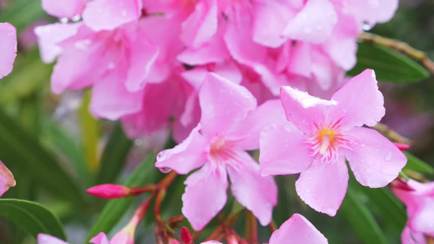 Nerium Oleander Stock Video Footage 4k And Hd Video Clips