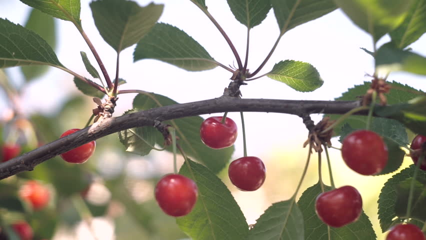 Red sour cherry tree branch with pair of tasty fruit on wind. Close-up cherry tree branches and fruit