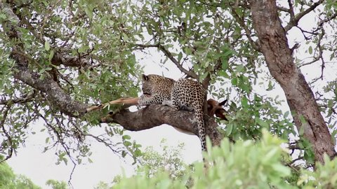 Leopard having lunch on a tree branch with impala prey, Kruger National Park, South Africa