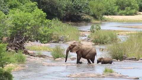 Elephants fight and play by the Sabie river, Kruger National Park, South Africa