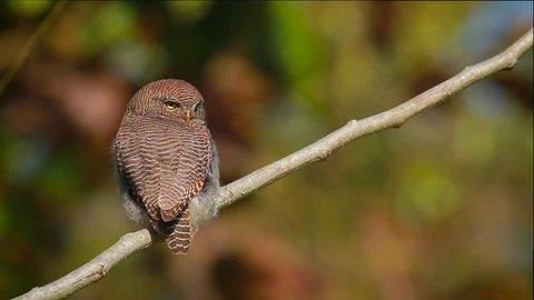 Jungle owlet in Bardia national park, Nepal - specie Glaucidium radiatum family of Strigidae