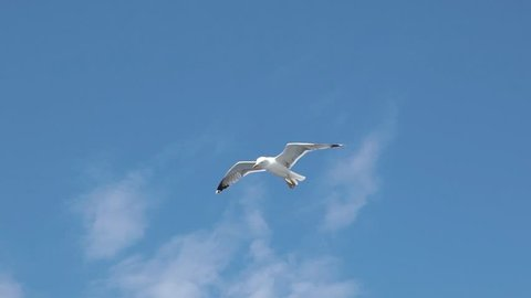 SLOW MOTION: Seagull in flight above sea surface. Gull flying and soaring above sea water on a sunny summer day.