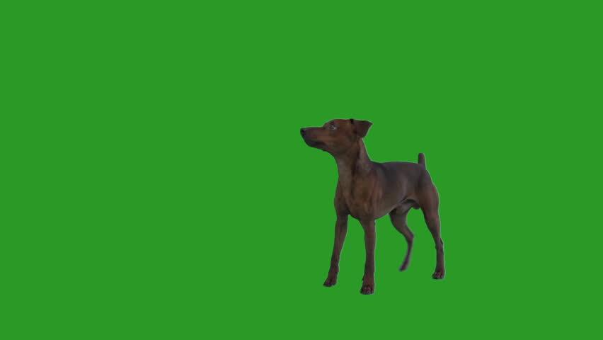 funny Miniature Pinscher Dog stands on the green screen #1011923423