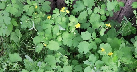 Creeping shrubs of a medicinal herb celandine