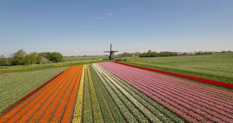Drone flies over colorful tulip fields towards a windmill on a sunny day with a clear blue sky in the Netherlands Aerial Drone footage 4K