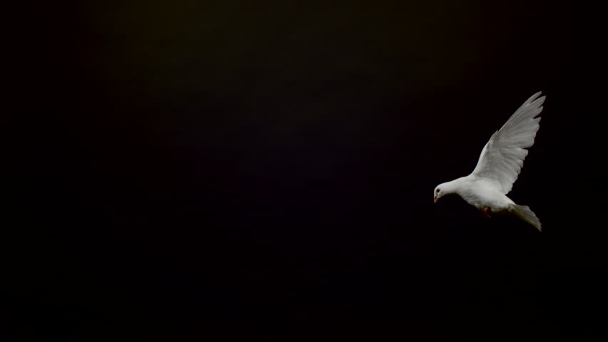Side view of a white pigeon flying on black background, Ultra Slow Motion #1011943343