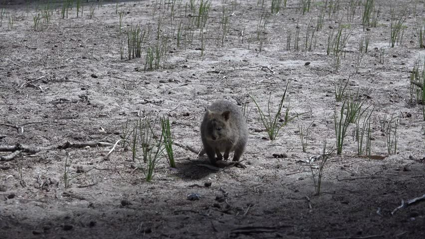 Quokka walk and forage in the bush undergrowth