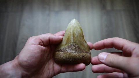 The tooth of the prehistoric shark is megalodon living more than 2 million years ago. The shark tooth is megalodone.