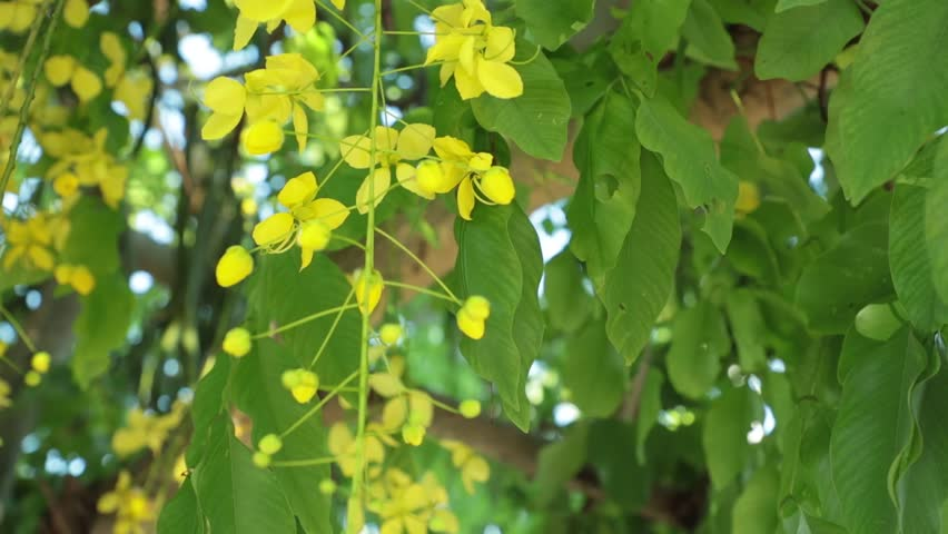 Cassia fistula or golden shower tree yellow flowers, panning panoramic high definition stock footage video clip.