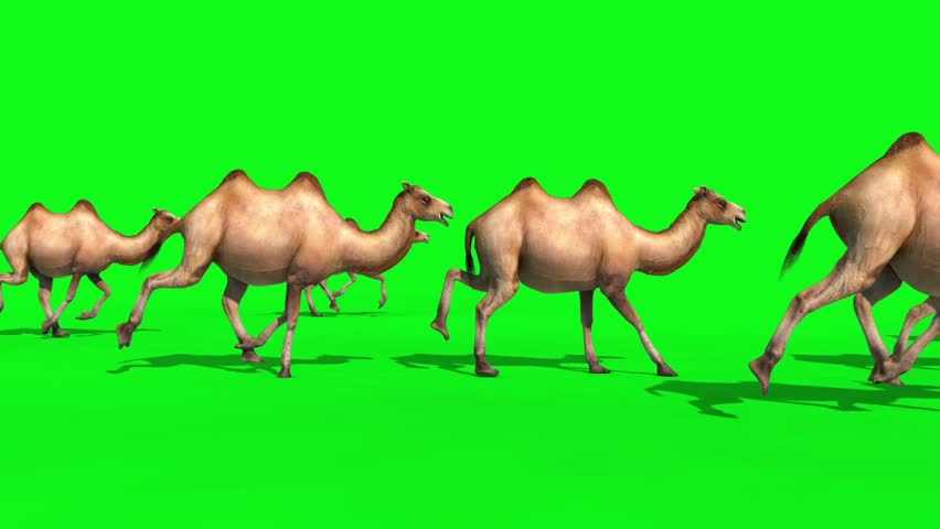 Group of Camels Runs Green Screen 3D Renderings Animations