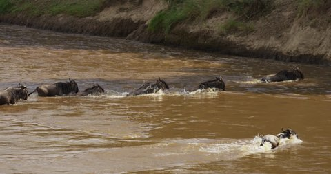 Kenya - December, 2016: Gnus running in a river