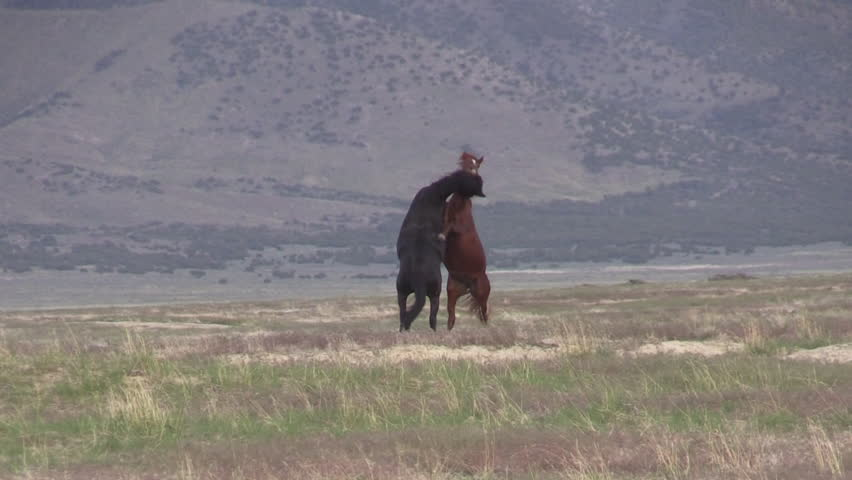 Wild Horse Stallions Sparring in the Utah Desert