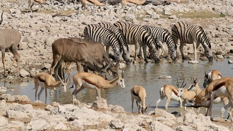 Zebra, springbok and kudu antelopes gathering at a waterhole, Etosha National Park, Namibia