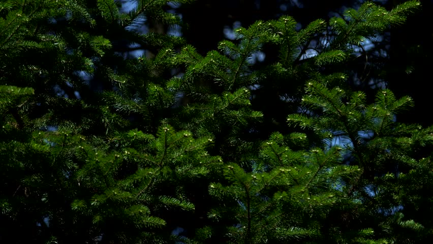 Many branches of green spruce closeup | Shutterstock HD Video #1012151063