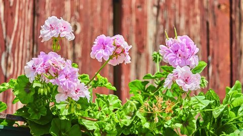 Pelargonium (geraniums). Geranium is botanical name (and also common name) of separate genus of related plants often called cranesbills. Both genera belong to family Geraniaceae.