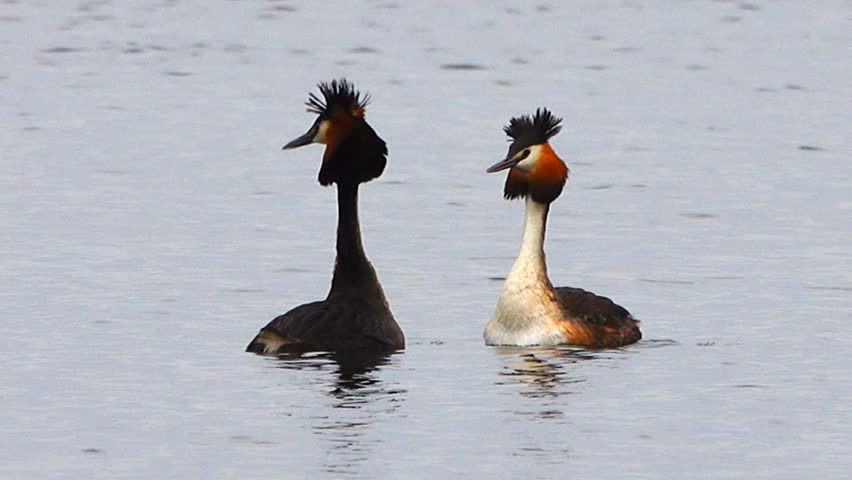 nuptial dance bird Great Crested Grebe