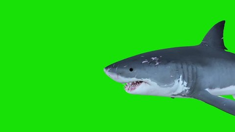 White Shark Swim in a Circle Green Screen Front 3D Rendering Animations