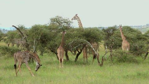 Grazing Masai Giraffes, Serengeti, Tanzania, Africa