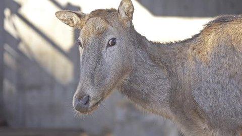 Reindeer (Rangifer tarandus), caribou in North America, is species of deer with circumpolar distribution, native to Arctic, sub-Arctic, tundra, boreal and mountainous regions.