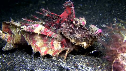 Devil scorpionfish (Inimicus didactylus) walking on its finger-like pectoral fins in Lembeh strait Indonesia.