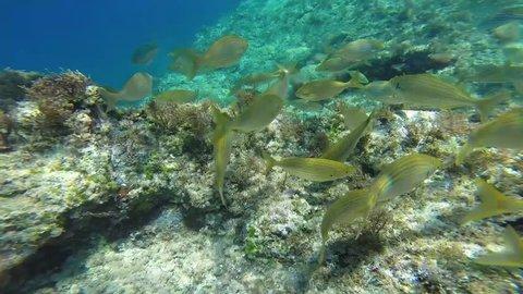 Shoal of sarpa salpa fish in Mediterranean sea. Close-up style.
