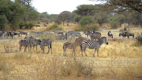 Zebras eating grass in Savanna, Tanzania, Africa, 4K footage. zebras running across screen. Zebras African safari. Africa, Kenya, Tanzania, Safari. Serengeti,  Zebras running in a field. Big Migration