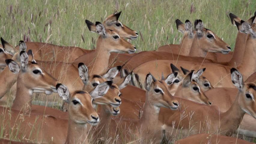 Herd of Impalas, Serengeti, Tanzania, Africa