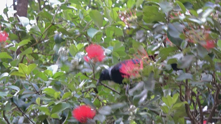 Tui bird feeding in Pohutukawa tree