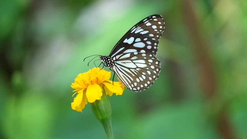 Butterfly on flower, Butterfly feeding on flower