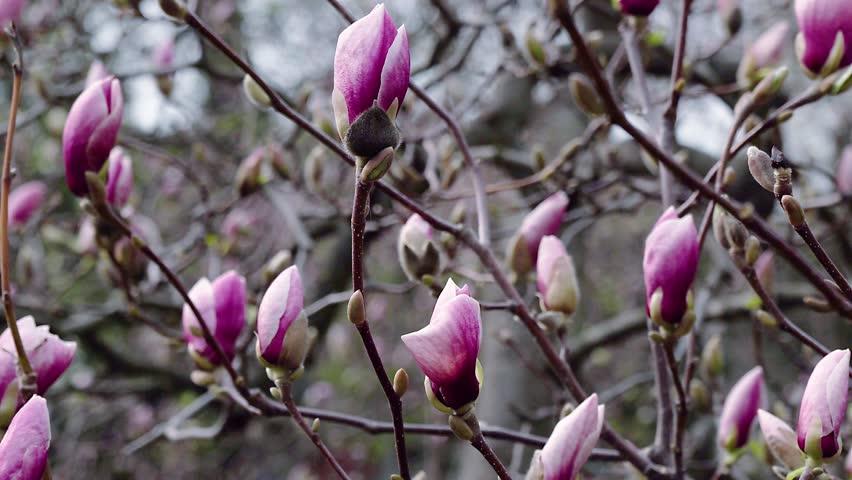 flowers of pink magnolia, pink magnolia, Magnolia tree blossom, magnolia bud