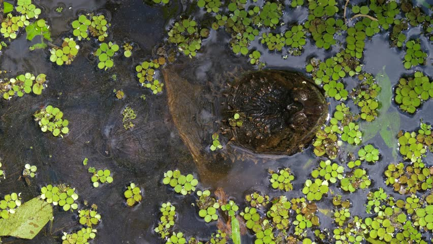 Snapping Turtle in swamp of Florida jungle. Snapping Turtle (Chelydra serpentina) monstrous head rising from water closeup. Florida, USA. Close up of a Snapping Turtle poking its head out of water.