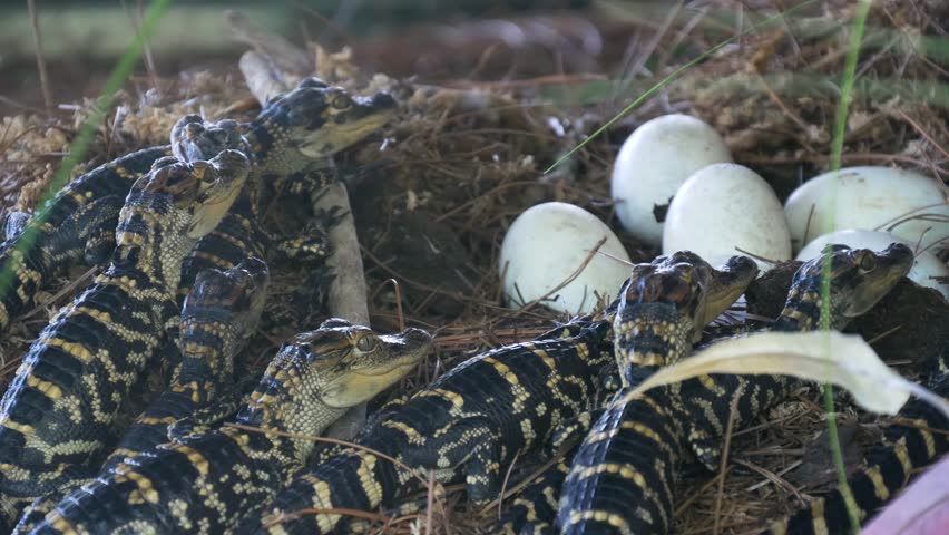 Alligator hatchlings emerge. Newborn alligator near the egg laying in the nest. Little baby crocodiles are hatching from eggs. Baby alligator just hatched from egg.
