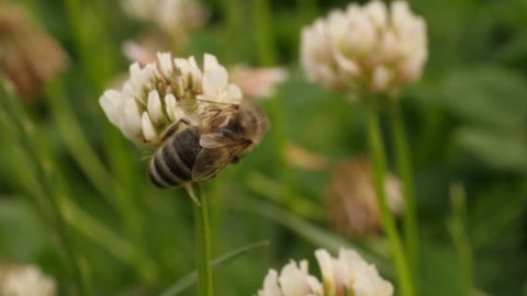 Macro of a honey bee collecting nectar from clover flower. The flower gently sways as the bee crawls on it. Bee flies away.
