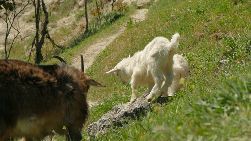 A gray goat and a pair of small goats on a mountain path.