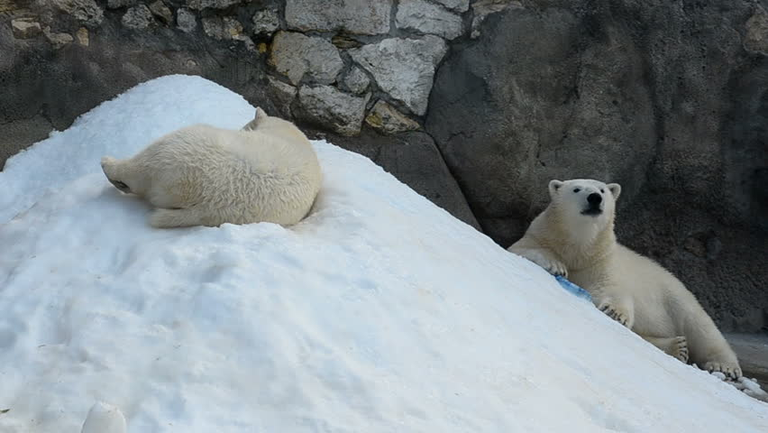 Cute young polar bears chilling out