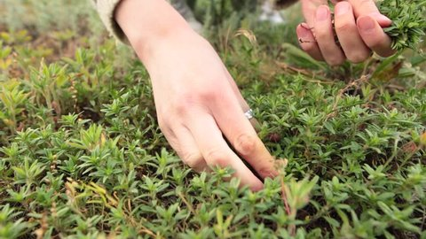 Woman hands picking up fresh green thyme growing in the meadow. Closeup shot. Low angle. Front view.