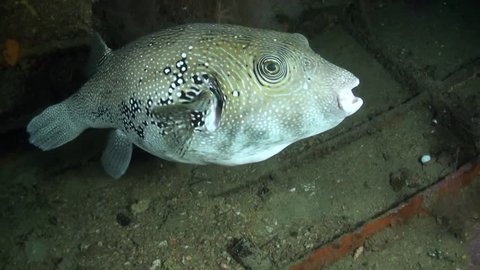 Blue-Spotted Pufferfish (Arothron caeruleopunctatus) Inside Shipwreck at Night - Philippines