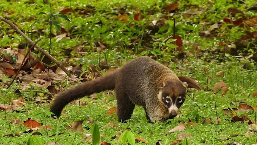 White-Nosed Coati Nasua Narica walking in grass with leaves