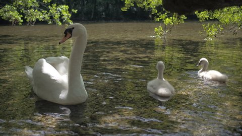 Family od swans drink water on the river