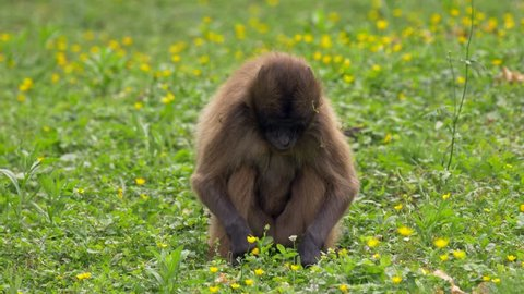 Gelada (Theropithecus gelada) feeding on grass