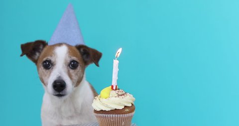 Cute Jack Russell Terrier dog with party hat and birthday cake blue background