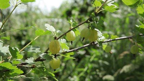 Bush of gooseberry. Not ripe green berries of gooseberry.