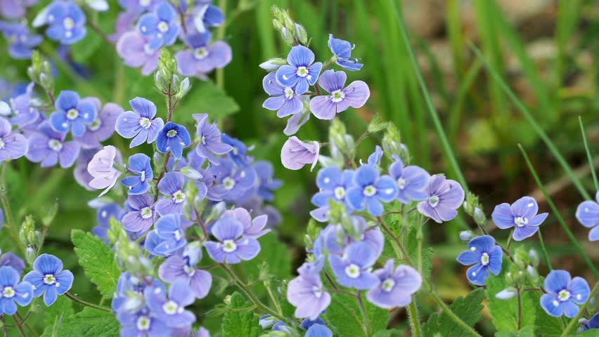 Veronica chamaedrys - blue blossoms in spring