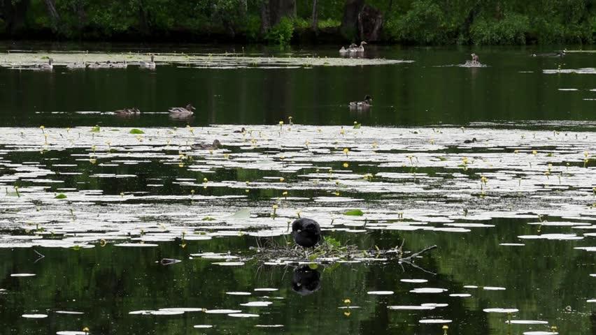 Various birds in a pond at Drottningholm, Stockholm