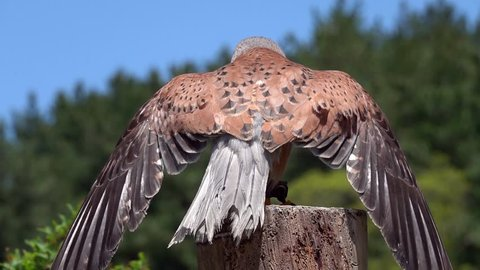 Common Kestrel (Falco tinnunculus) Chained to Perch. Animal Violence Concept